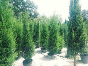 Cedar trees delivered and planted eight-foot-tall break for privacy for Sale in Largo, FL