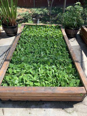 Water lettuce!$3 for Sale in Pomona, CA