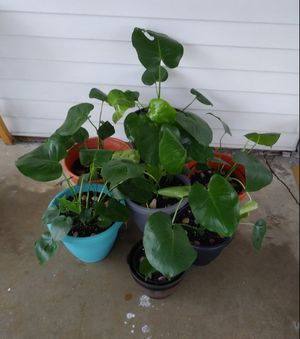 Monstera plants$15-$30 each pot for Sale in St. Louis, MO