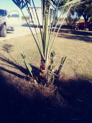palm trees cleaning for Sale in Yuma, AZ