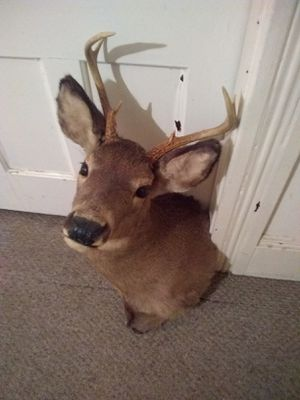 8 point buck great condition for Sale in Clinton, MA