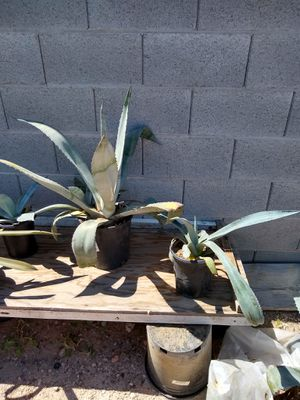 BLUE AGAVE PLANTS for Sale in Las Vegas, NV