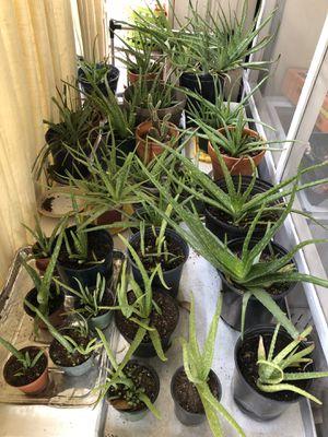 Aloe Vera for Sale in Atlanta, GA