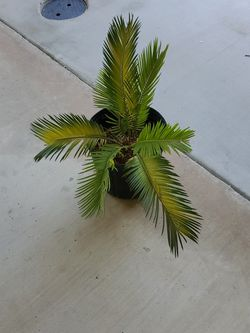 Historical Palm Tree for Sale in Bakersfield,  CA