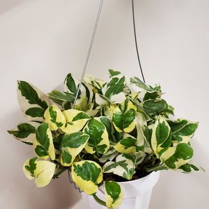 Njoy N'joy Pothos Indoor Plant In 6 Inch Hanging Nursery for Sale in Altadena, CA
