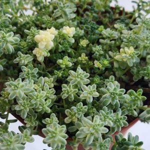 Succulent Plant Verigated Sedum for Sale in Hacienda Heights, CA