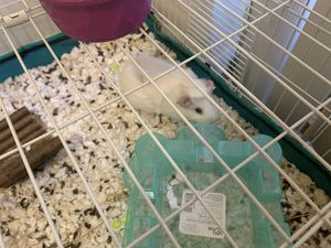 Gunnies pigs ! for Sale in Miami, FL