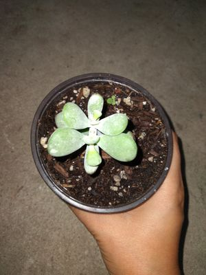 Cotyledon Orbiculata Succulent Live Houseplant for Sale in Inglewood, CA