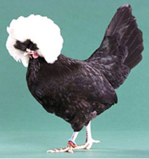 White bearded polish banty rooster, super friendly for Sale in Arroyo Grande, CA