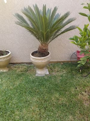 Saga Palm for Sale in Alta Loma, CA