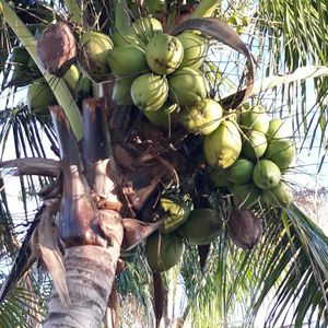 Free Coconuts, Must Have Truck To Take. 4 Tree's Need Tall Ladder for Sale in Port St. Lucie, FL