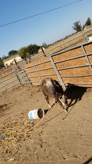 pony for Sale in Galt, CA