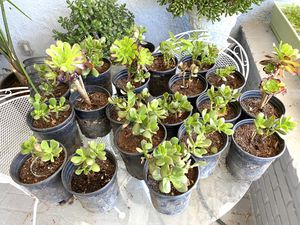 Succulent Plants $2 each for Sale in Chatsworth, CA