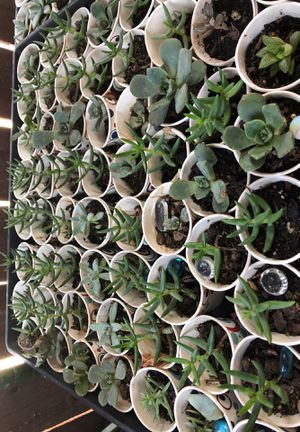 PLANT 2 FOR 1$SUCCULENT SALE!!! VARIETY TO CHOOSE!!! for Sale in Stockton, CA