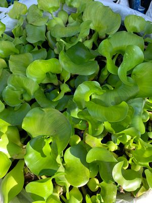 Water Hyancinth – Floating Live Pond Plant for Sale in Industry, CA