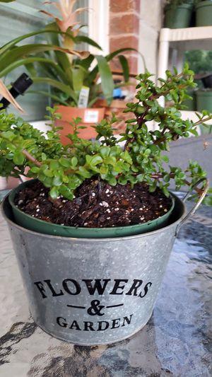 Beatiful succulent for Sale in Dallas, TX