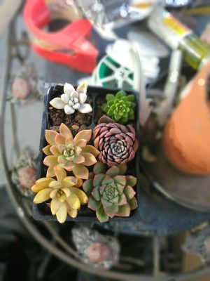 SoCal Succulent six pack - $15 for Sale in Fullerton, CA