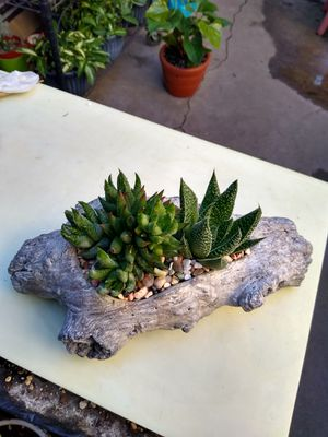 SUCCULENT PLANTS for Sale in Paramount, CA