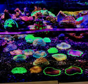 Fungía Plate Corals for Sale in Hialeah, FL