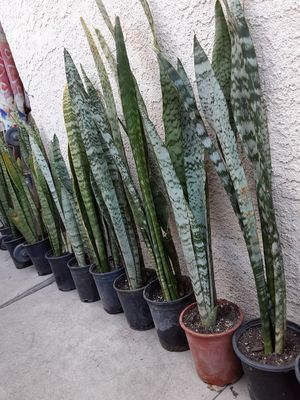 """Snake plants in a gallon pot 38"""" Tall , $10 each pot for Sale in Anaheim, CA"""