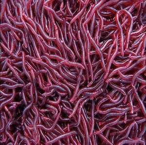 500 red wiggler composting worms for Sale in HUNTINGTN BCH, CA
