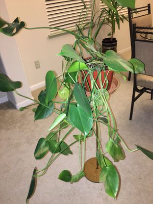 Indoor plant for Sale in Modesto, CA