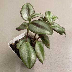 Tradescantia Zebrina - Wandering Jew Plant for Sale in Goleta, CA