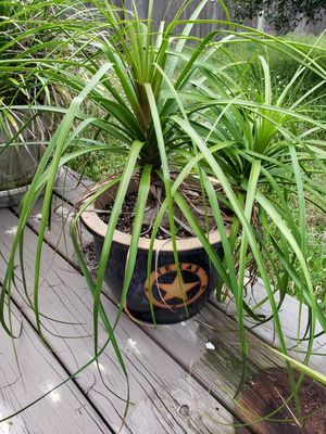 Ponytail Palm & pot for Sale in Houston, TX