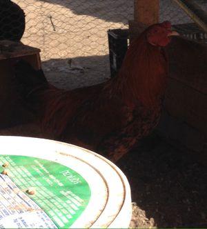 Pollo grande for Sale in Fresno, CA