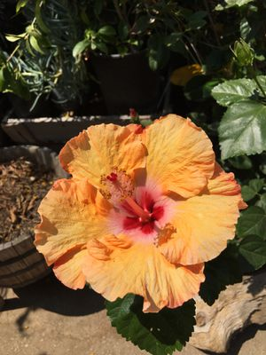 Hibiscus flower tree plant for Sale in Highland, CA