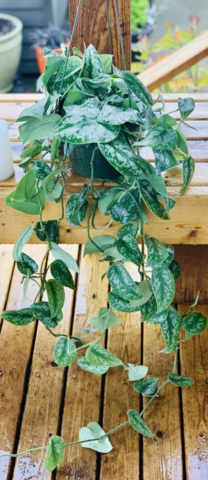 Live Indoor Silver Pothos plant in a temporary plastic planter flower pot—firm price for Sale in Seattle, WA