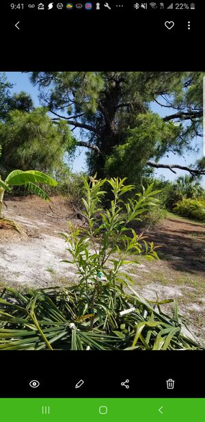 Sapodilla trees , grafted HUGE health benefits for Sale in Lehigh Acres, FL