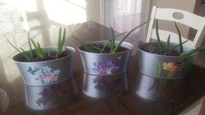 Aloe vera plants for Sale in Austin, TX