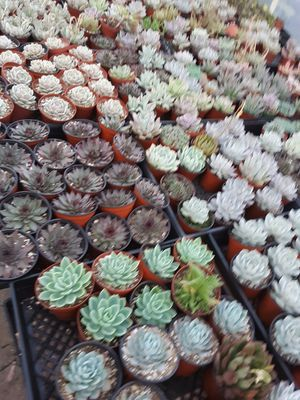 """4"""" pots with succulent plants $2.50 each for Sale in Whittier, CA"""