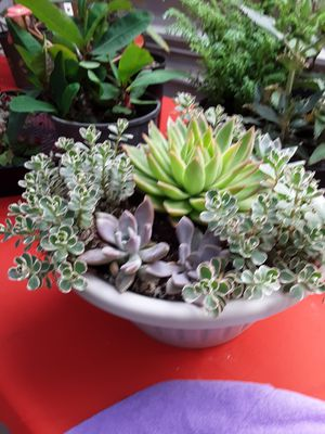 """10"""" pot with succulent plants only $15 for Sale in Whittier, CA"""