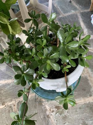 Indoor plant, very healthy for Sale in Princeton, NJ