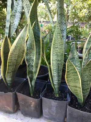 Snake Plants for Sale in Fresno, CA