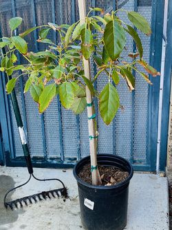 Avocado tree for Sale in Murrieta,  CA