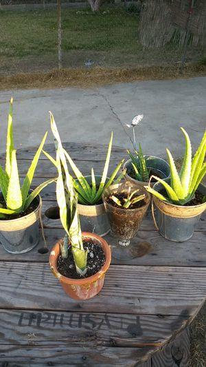 Aloe vera/Sabila for Sale in Cudahy, CA