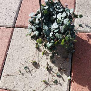 """String Of Hearts Pot 6"""" for Sale in Santa Ana, CA"""