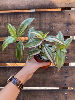 Quadricolor tradescantia (rare plant) for Sale in San Diego, CA