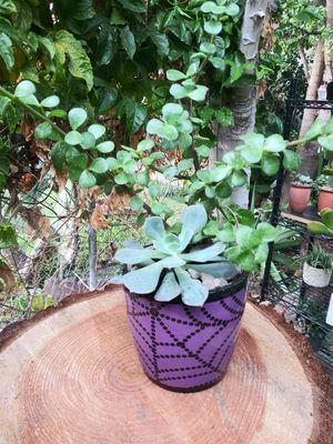 Succulents en macetita de cerámica pequeña for Sale in Bell, CA
