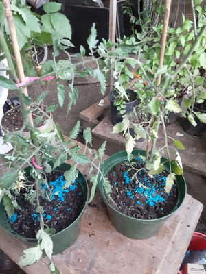 #1gallon tomatoes for Sale in Gresham, OR