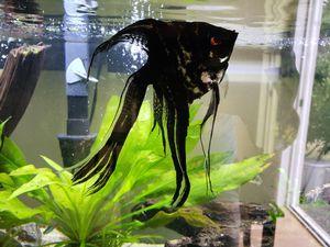 75 gallon freshwater aquarium, 2 filters, heater, plants, fish, wood etc for Sale in Kirkland, WA