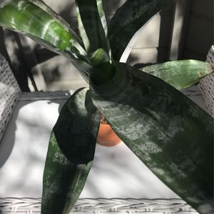 Silver Vase Plant Bromeliad, Indoor Plant, for Sale in Laguna Niguel, CA