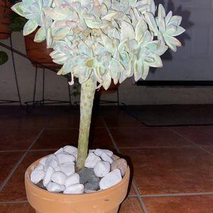 "Graptopetalum Paraguayense Crest Succulent Crest Over 12"" Tall In Terracota Pot for Sale in Compton, CA"