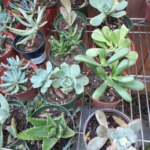 "Succulent Plant in 4"" Pot Good For Baby Shower And Birthdays Souvenir for Sale in Garden Grove, CA"