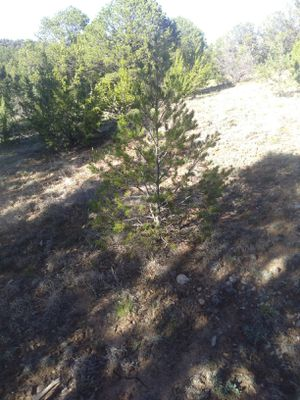 Live native trees, pinion ,pine, juniper, cedars and scrub oaks. 2to 3 footers only you select what size and I'll ball or pot . for Sale in Estancia, NM