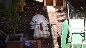 Tom Turkey for Sale in Puyallup, WA