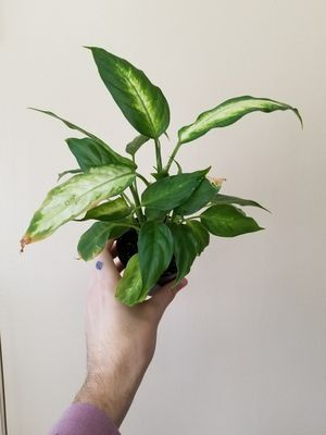 Dumb Cane for Sale in Columbus, OH